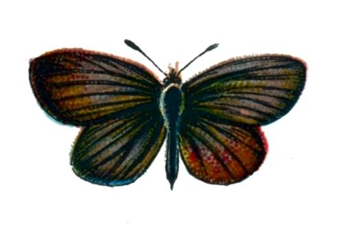 Lycaena minima