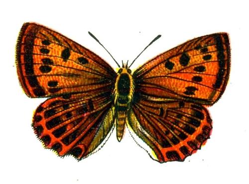 Lycaena virgaureae femelle