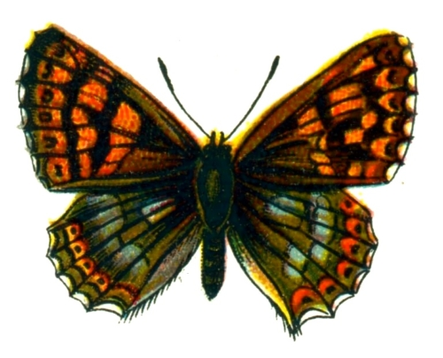 Nemeobius lucina
