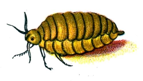 Orgyia antiqua female