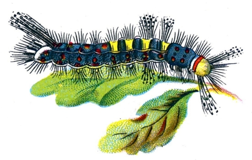 Orgyia antiqua caterpillar male