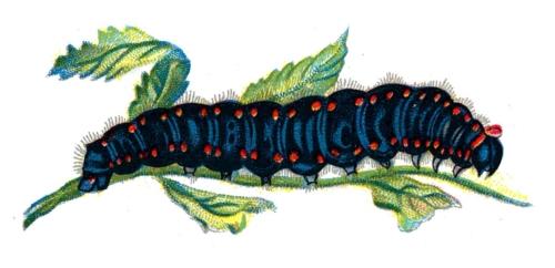 Parnassius apollo caterpillar