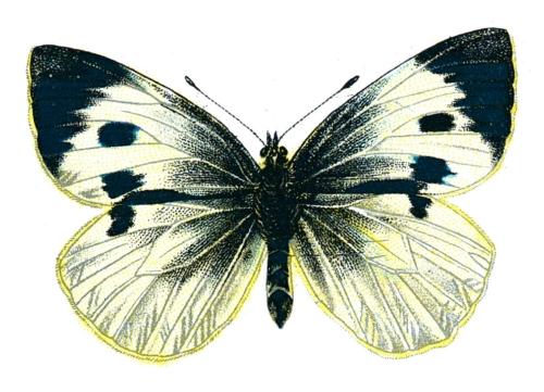 Pieris brassicae femelle