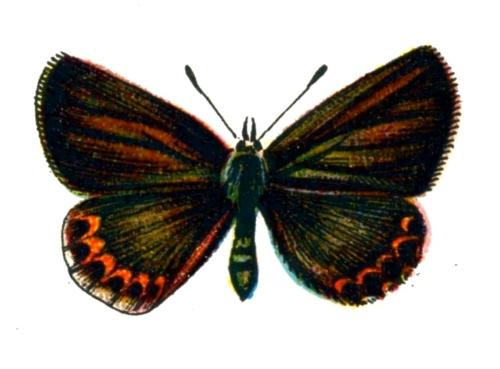 Plebeius idas femelle