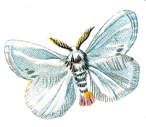 Porthesia similis