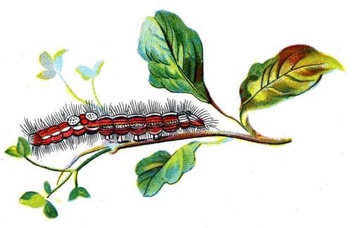 Porthesia similis caterpillar