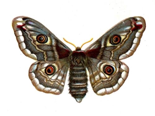Saturnia pavonia female