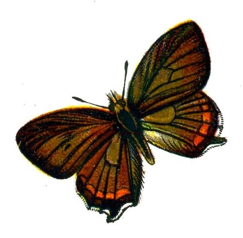 Satyrium pruni