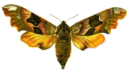 Smerinthus tiliae