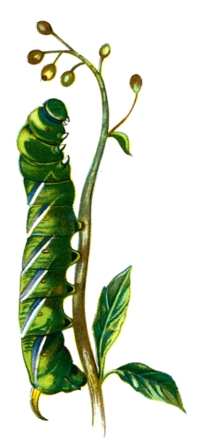 Sphinx ligustri caterpillar