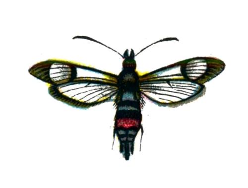 Synanthedon culiciformis