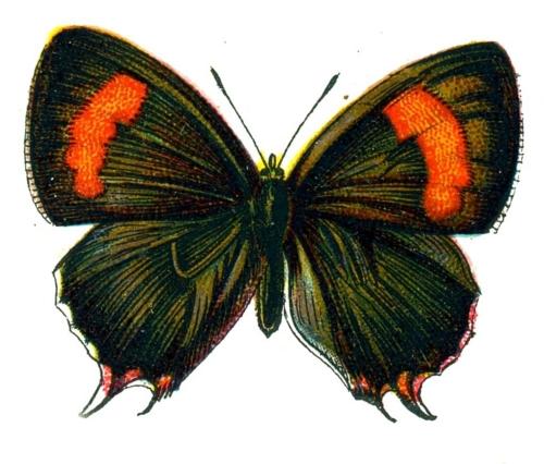 Thecla betulae femelle