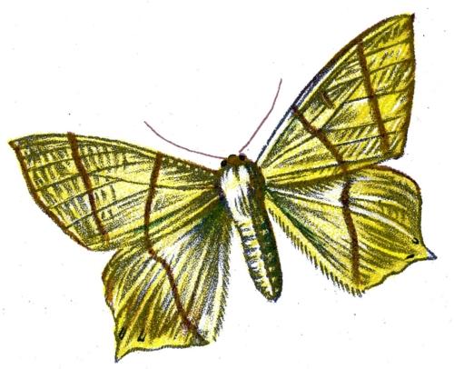 Urapteryx sambucaria