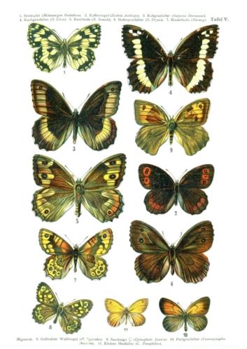 European Butterflies Plate 5