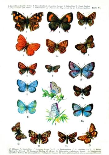 European Butterflies Plate 6
