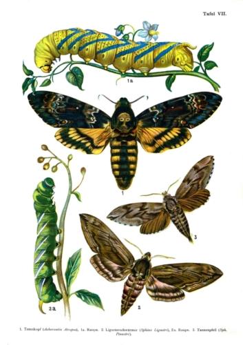 European Butterflies Plate 7