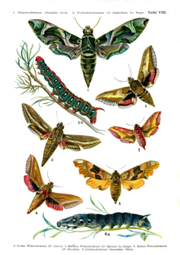 European Butterflies Plate 8