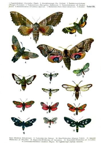 European Butterflies Plate 9