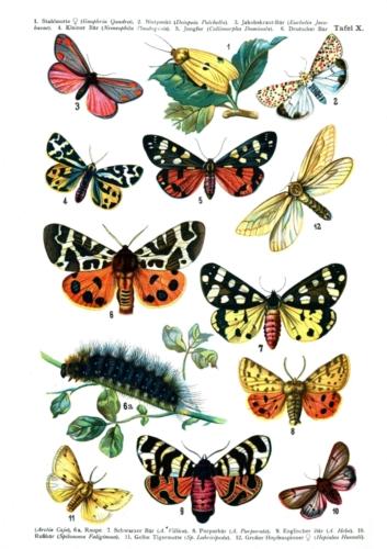 European Butterflies Plate 10