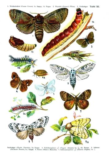 European Butterflies Plate 11