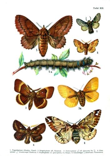 European Butterflies Plate 12