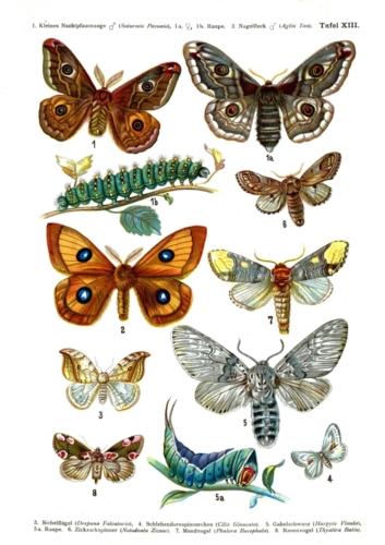 European Butterflies Plate 13