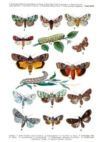 European Butterflies Plate 14