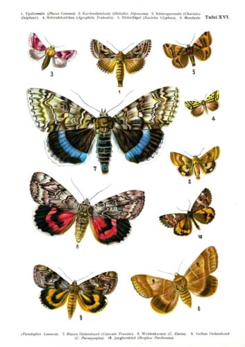 European Butterflies Plate 16