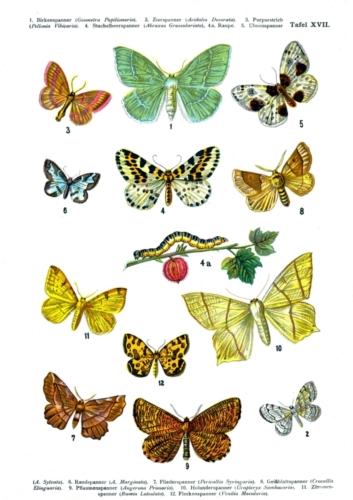 European Butterflies Plate 17