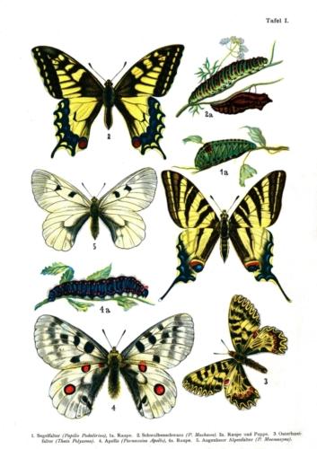 European Butterflies Plate 1