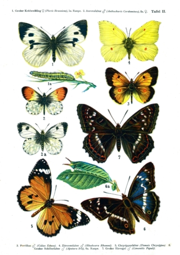 European Butterflies Plate 2