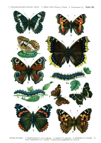 European Butterflies Plate 3