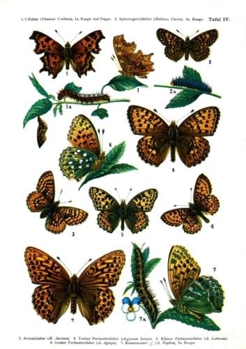 European Butterflies Plate 4