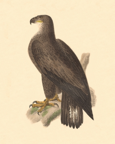 The Brown or Bald Eagle, female