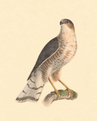 The Slate-colored Hawk