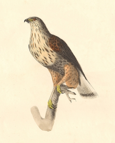 The Rough-legged Buzzard