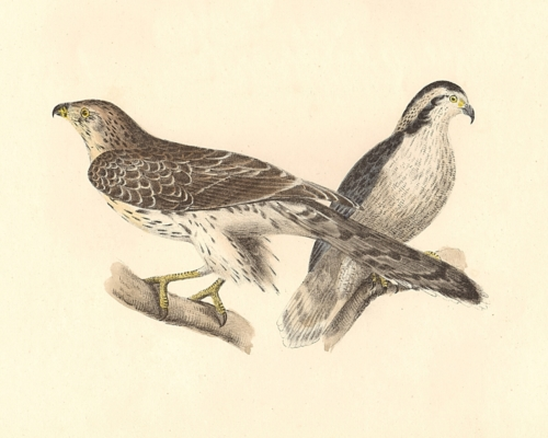 The American Goshawk