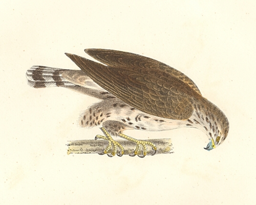 The Broad-winged Buzzard