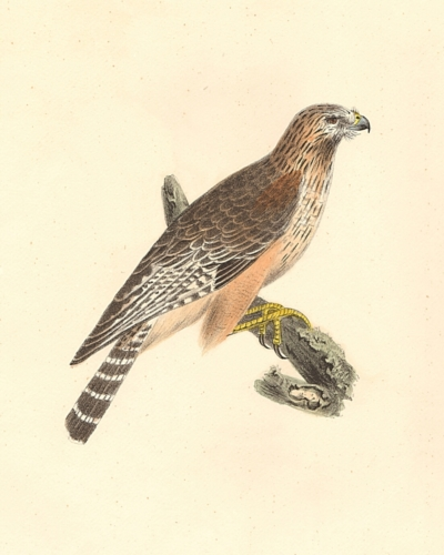 The Red-shouldered Buzzard