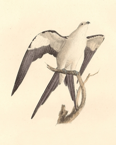 The Swallow-tailed Hawk