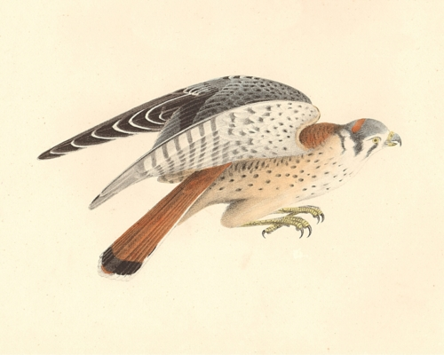 The American Sparrow Hawk