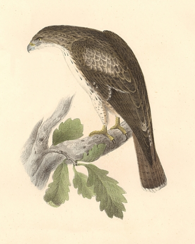 The Red-tailed Buzzard