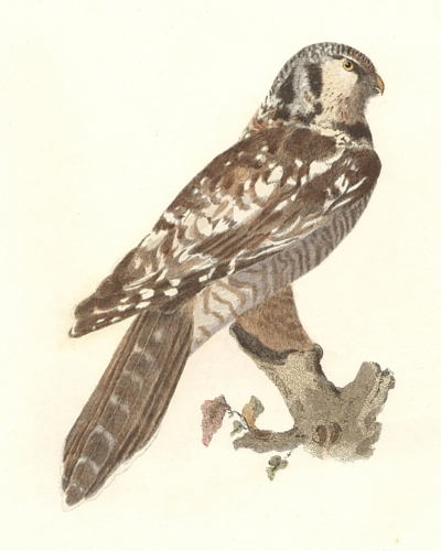 The Hawk Owl