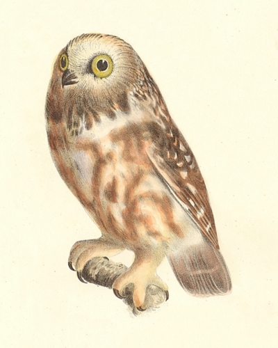 The Acadian Owl