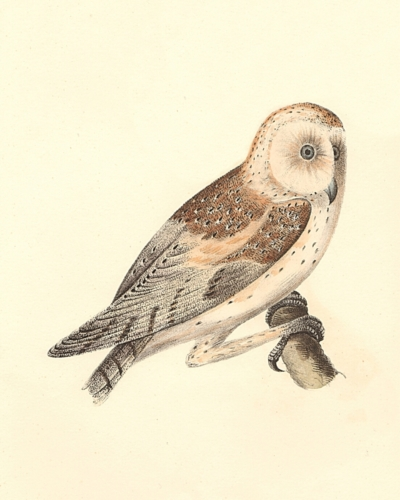 The American Barn Owl
