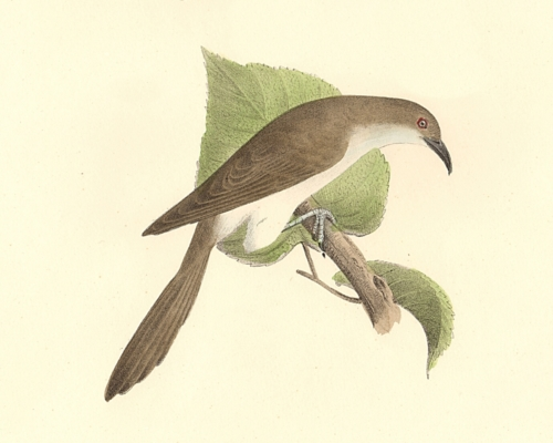 The Black-billed Cuckoo
