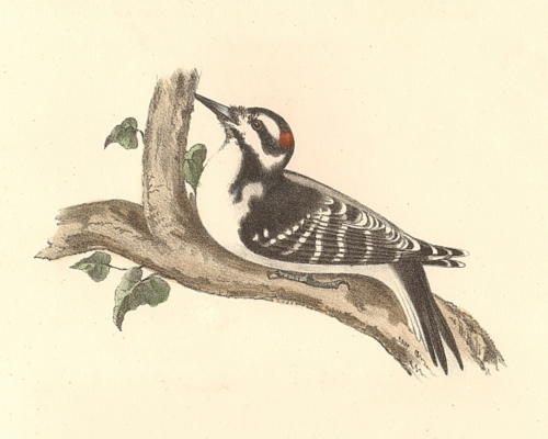 The Hairy Woodpecker