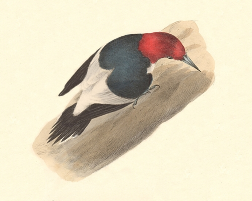 The Red-headed Woodpecker