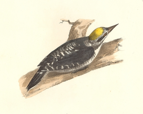 The Arctic Woodpecker