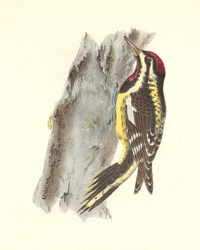 The Yellow-bellied Woodpecker